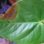 Антракноз листьев антуриума