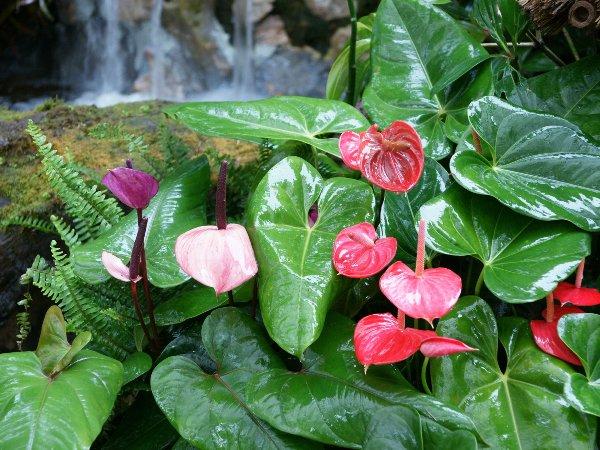 Антуриум во влажной тропической среде