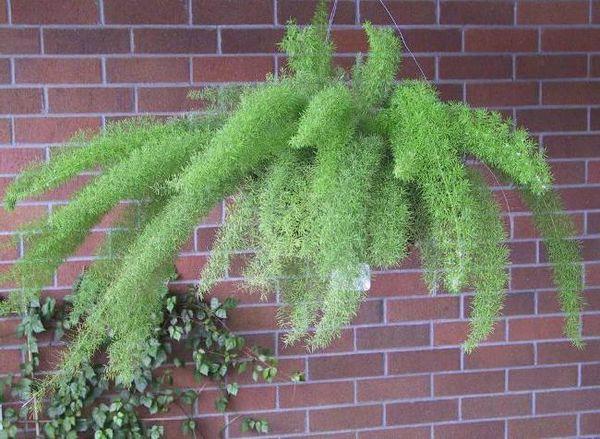 Аспарагус рекомендуется выращивать в притененных местах