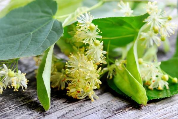 Липа цветет в июне-июле, высота дерева до 30 м, соцветия приятно пахнут