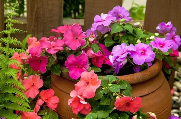 Садовый бальзамин в вазоне