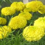 Лимонные
