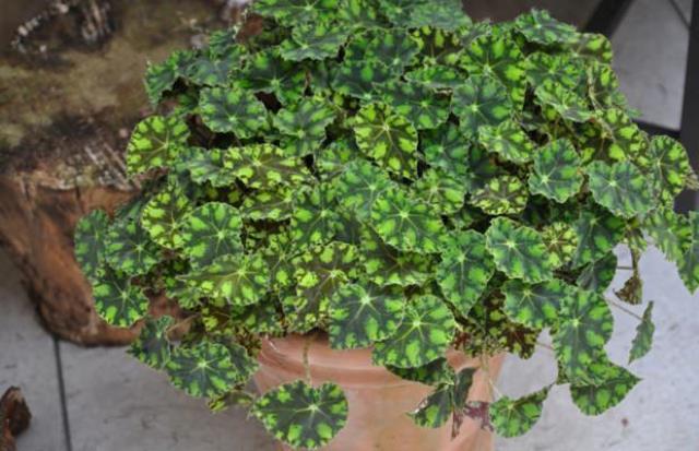 Разросшийся цветок, требующий рассадки