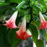 Цветки бругмансии