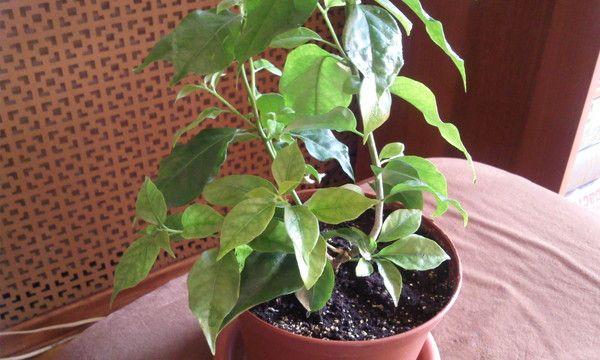 Листья бугенвиллии желтеют при переувлажнении почвы