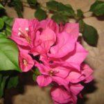 Обильное и яркое цветение бугенвиллии