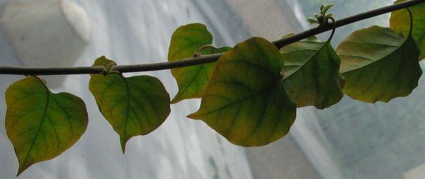 Листья бугенвиллии могут гнить из-за переизбытка влаги