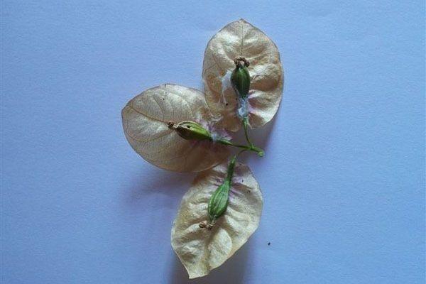 Коробочки с семенами бугенвиллии