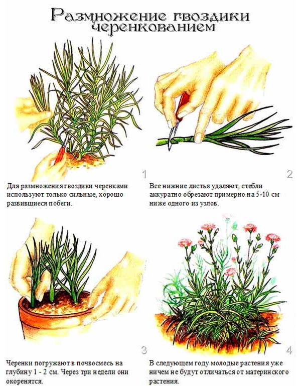 Размножение цветка черенкованием
