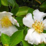 Цветки масличной камелии