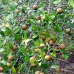 Масличные семена