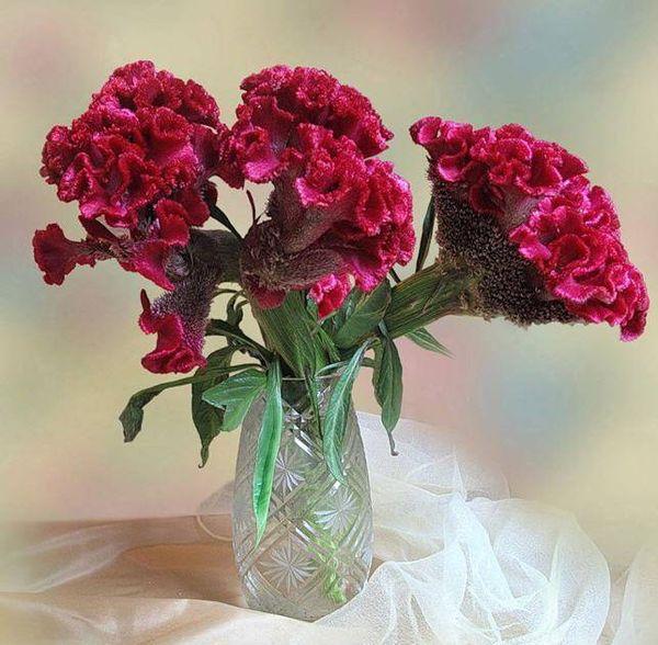 Цветки целлозии можно высушить и поставить в вазу