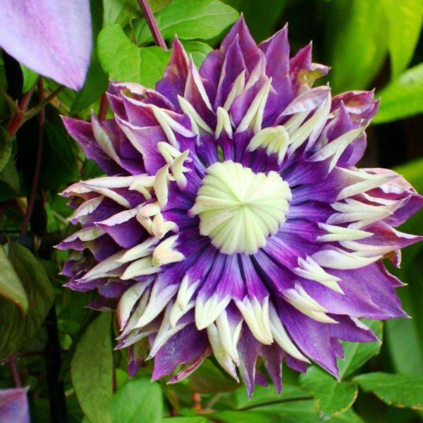 Цветок клематиса Тайга