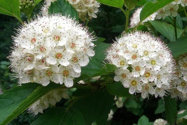 Соцветия боярышника укрепляют организм, регулируют уровень сахара в крови и многое другое