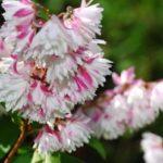 Махровые цветки дейции необычайно красивы