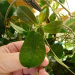 Пятна на листьях дипладении - несоблюдение температурного режима