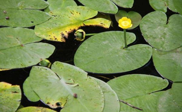 Компресс из листьев кубышки делают при сильной головной боли
