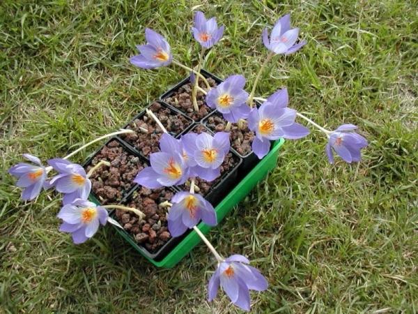 Цветок выращивается в 14 ботанических садах, разбросанных по всей территории России