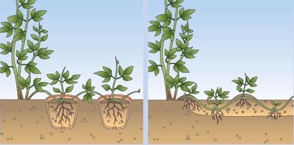 Схема размножения Клематиса Тайга отводками