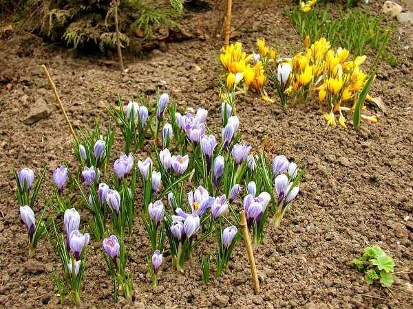 Крокус является засухоустойчивым растением и при недостатке влаги он даёт мелкие цветы