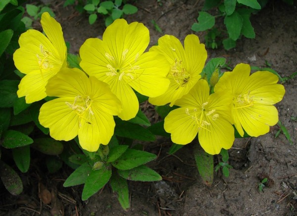 Желтые садовые цветы