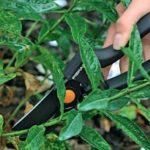 Срезание зеленых черенков от куста