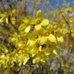 Цветки яйцевидной форзиции