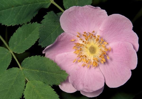 Растение имеет противопоказания, суточная доза: 7-8 ягод, 1-3 ложки цветков или сухих корней