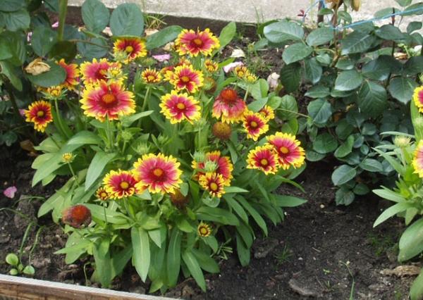 Цветок любит легкий и сухой грунт, не терпит излишнего количества влаги