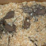 Хранение георгинов в хвойных опилках