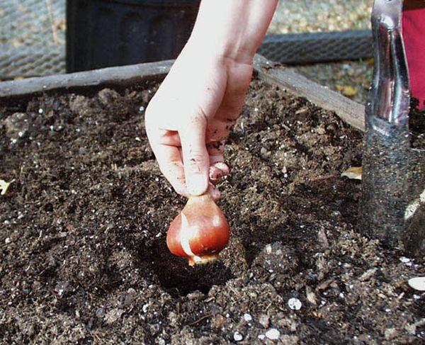Луковицы высаживаются на глубину около 15 см