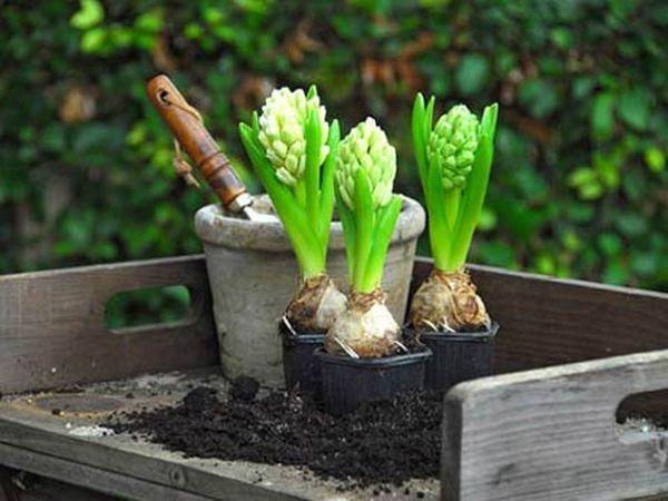 Высадка гиацинтов в грунт должна производиться в осенний период