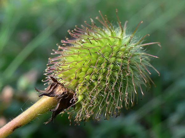 Коробочка с семенами гравилата чилийского