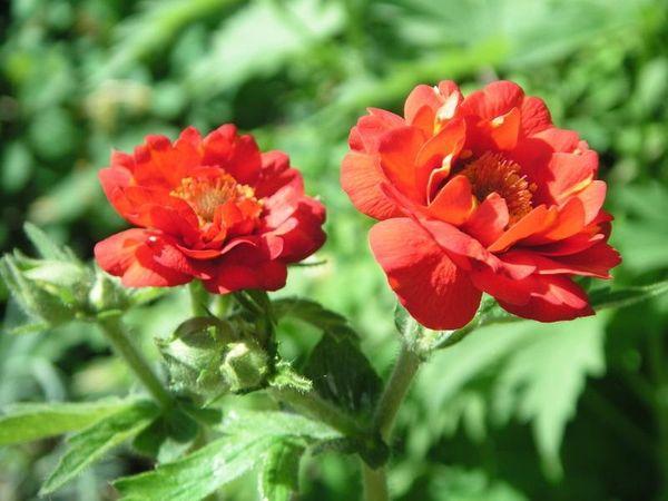 Гравилат чилийский цветет до 50-60 дней