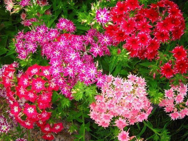 Многолетние садовые цветы растущие в тени с