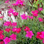 Травянка розовая