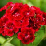 Турецкая красный цветок