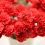 Голландская красный цветок