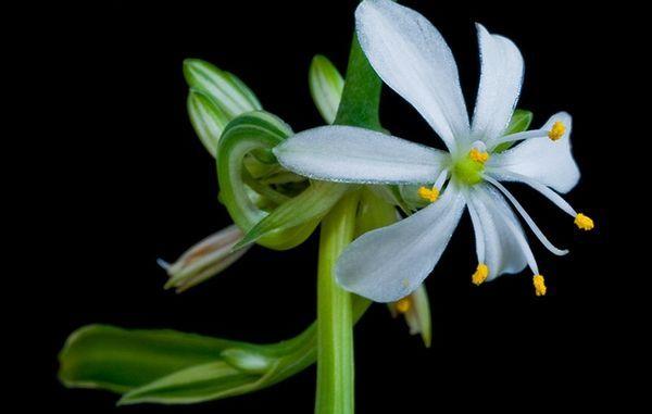 Цветок хлорофитума