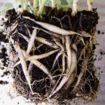 Растение достают с земляным комом