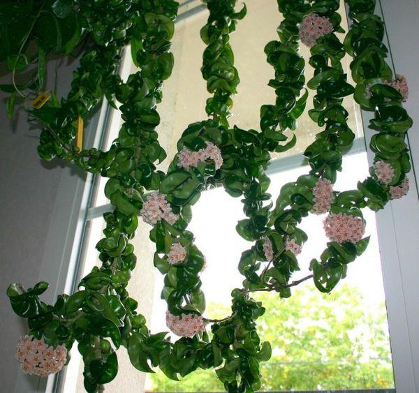Хойя относится к светолюбивым растениям