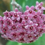 Необыкновенные цветки хойи
