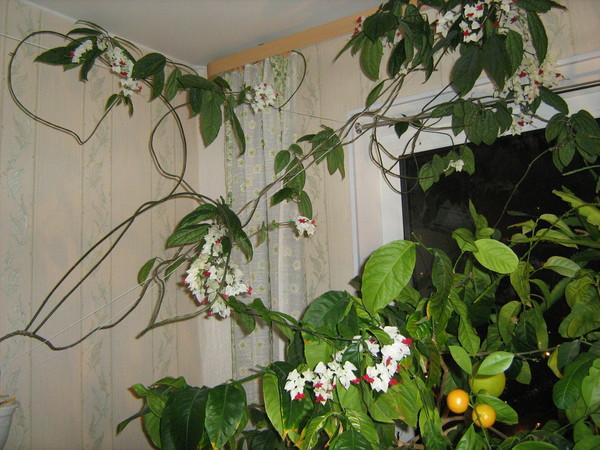 Клеродендрум Томпсона, кроме удаления засохших или слабых веток, требует укорачивания всех побегов на треть длины, что должно стимулировать обильное цветение