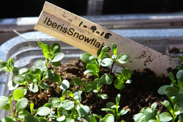посадка ибериса семенами на рассаду