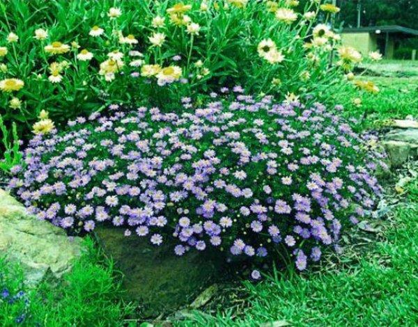 Брахикома является изящным однолетним (порой многолетним) сильно разветвленным растением