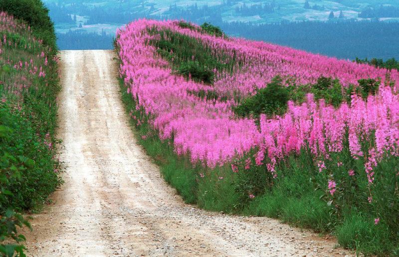 Цветы иван-чая, растущие вдоль дороги