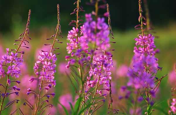 Цветы иван-чая, растущие в поле