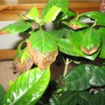 Сухость и пожелтение листьев гардении