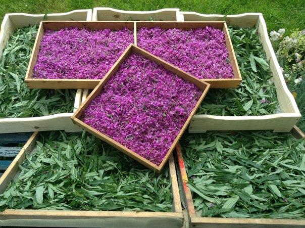 Собранные цветы и листья цветов иван-чая