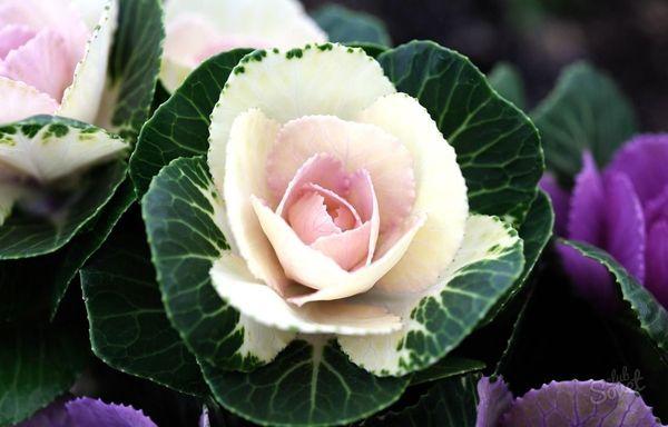 Цветонос декоративной капусты для сбора семян